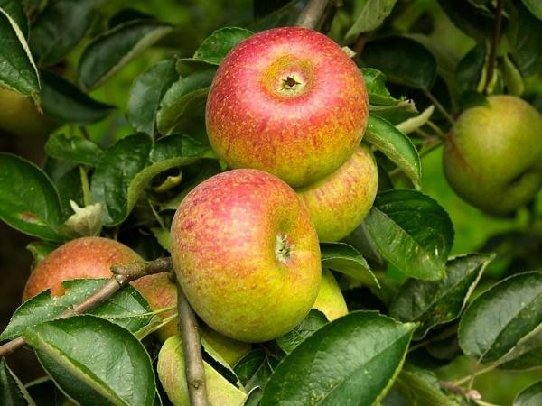 biloba production de jus artisanal de pommes pommes et poires dalhem. Black Bedroom Furniture Sets. Home Design Ideas